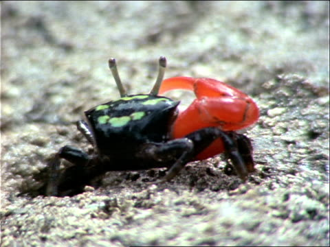 a black and red crab creeps over the sand as it eats. - zoologia video stock e b–roll
