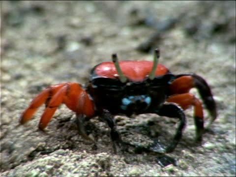 vídeos y material grabado en eventos de stock de a black and red crab picks up food from the sand and eats. - artrópodo