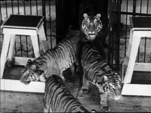 black and white 1940 high angle group of tigers entering circus cage / coney island, ny / industrial /audio - circus stock videos & royalty-free footage