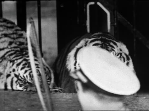 black and white 1940 two tigers snarl and swipe at trainer / coney island, ny / industrial /audio - zirkusveranstaltung stock-videos und b-roll-filmmaterial