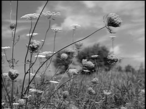 black and white 1944 close up wildflowers blowing in breeze in field / trees in background / documentary - rural scene stock videos & royalty-free footage