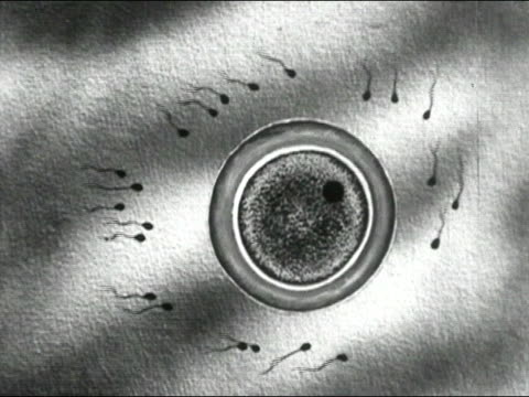 1935 Black and white animation spermatazoa flocking to egg cell/ AUDIO
