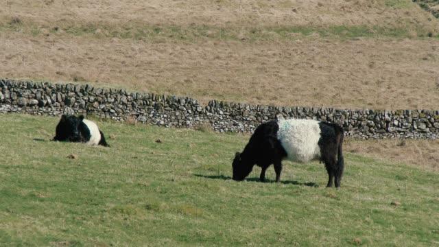 Schwarz / weiß belted Galloway Rinder Weiden in einem schottischen Feld