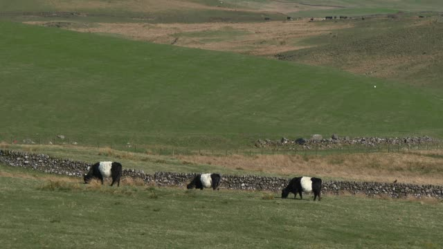 Black and white belted Galloway cattle grazing in a Scottish field