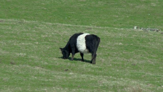 Schwarz / weiß belted Galloway Kuh Weiden in einem schottischen Feld