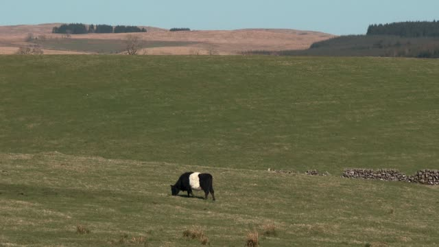 Black and white belted Galloway cow grazing in a Scottish field