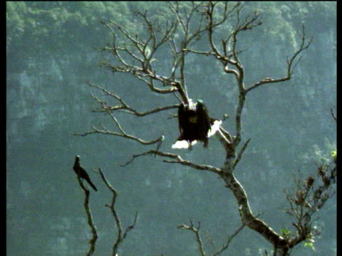 Black and white casqued hornbill leaves branch to catch insect then returns to tree, West Africa