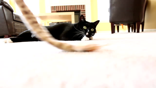 black and white cat playing with toy - lying down stock videos and b-roll footage