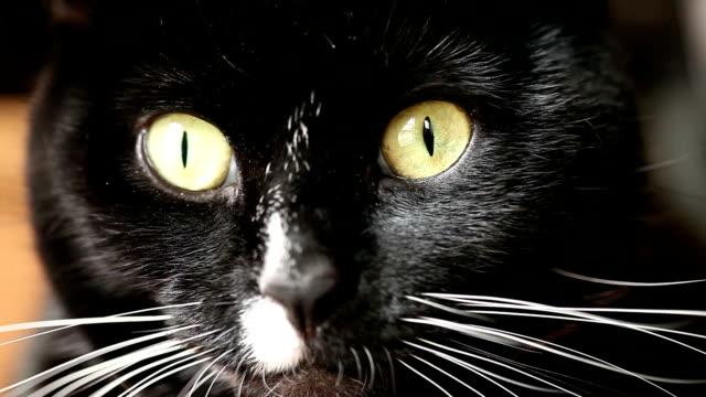 black and white cat - morrhår bildbanksvideor och videomaterial från bakom kulisserna