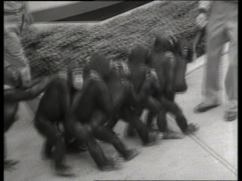 black and white chimpanzees walking in line with hands on shoulders / no audio - circus stock videos & royalty-free footage