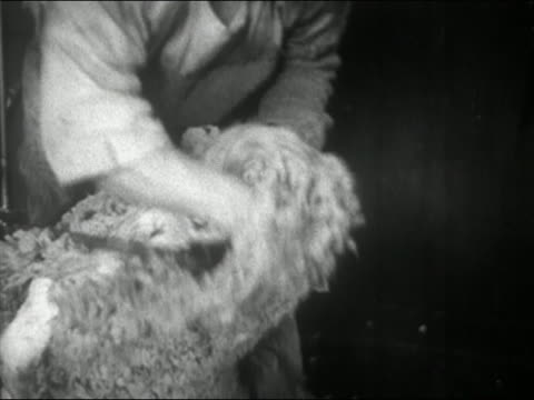 1945 black and white close up man shearing the wool from around a sheep's head / chile / audio - sheep shearing stock videos & royalty-free footage