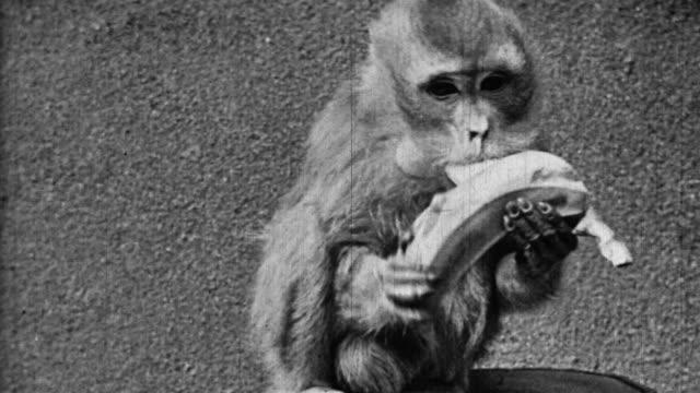 black and white close up monkey devouring banana - banana stock videos & royalty-free footage