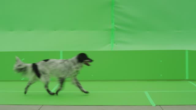 vídeos y material grabado en eventos de stock de black and white dog retriever trots across frame left to right. - perro cazador