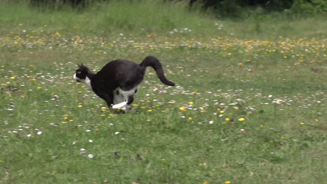 """Black and White Domestic Cat running on Grass, Normandy, Slow Motion"""