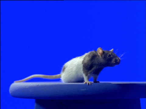 black and white hooded rat on stool sniffs air - rat stock videos & royalty-free footage