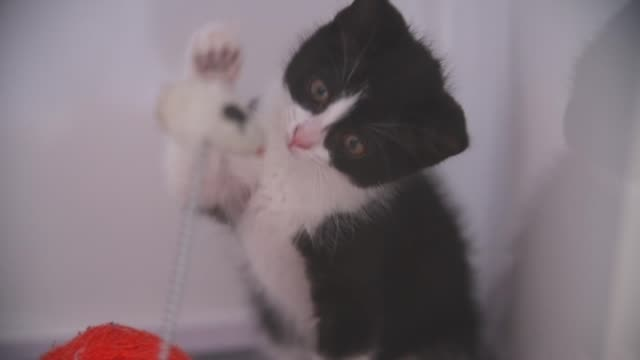 Black and white kitten playing with toy in cage at SPCA veterinary clinic