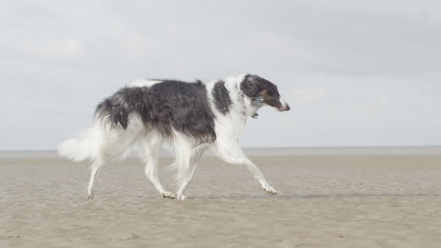 MS TS SLO MO Black and white long haired dog running on beach / Hunstanton, Norfolk, United Kingdom