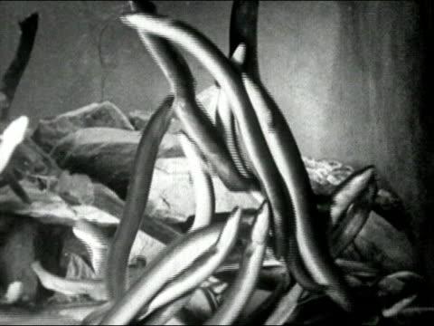 vidéos et rushes de 1935 black and white medium shot eels swimming in tank/ audio - medium group of animals