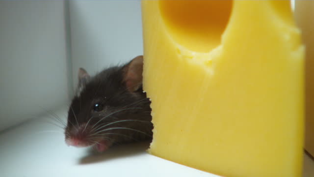 cu, pan, black and white mouse eating peace of cheese in maze - cheese stock videos & royalty-free footage