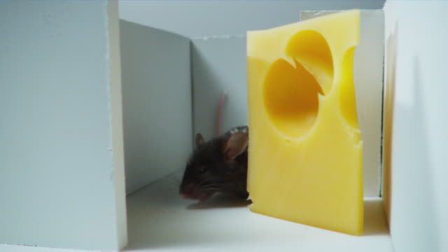 cu, black and white mouse finding peace of cheese in maze - käse stock-videos und b-roll-filmmaterial