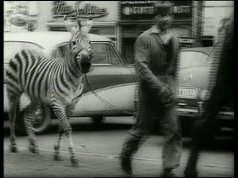 Black and white pan of man leading zebra past parked cars / Germany / AUDIO
