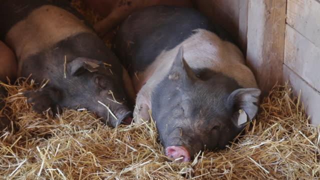 vídeos de stock, filmes e b-roll de black and white pigs sleep in pig pen - grupo pequeno de animais