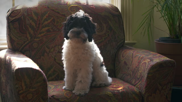 vídeos de stock, filmes e b-roll de black and white puppy sits on chair with sunny windows - família do cão