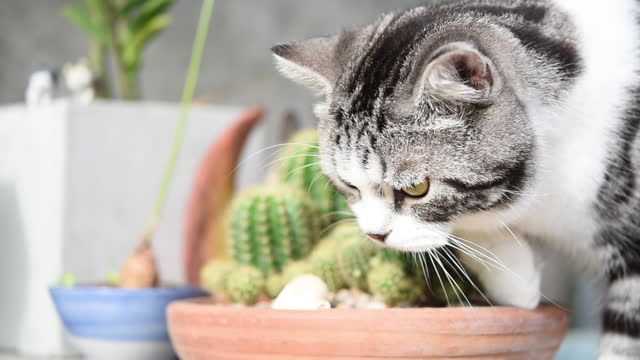 black and white tabby cat mixed american shorthair and persian  play and smelling cactus  clay pot - succulent stock videos & royalty-free footage