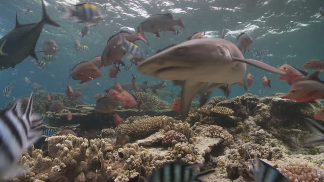 black and white tip reef sharks schooling and feeding above coral reef - ネムリフカ点の映像素材/bロール