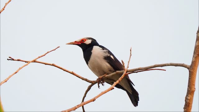 black and white tropical bird with red eye perched on the twig. pied myna - twig stock videos & royalty-free footage
