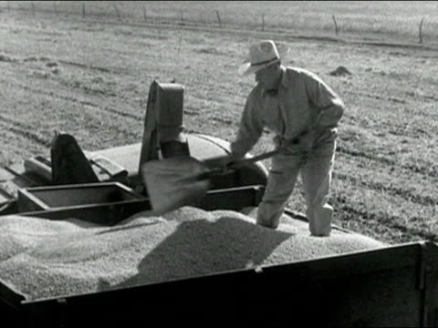 1939 Black and white wide shot farmer shovelling soybeans pouring into truck/ AUDIO