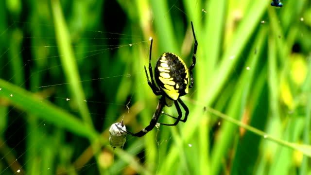 black and yellow garden spider - arachnid stock videos and b-roll footage