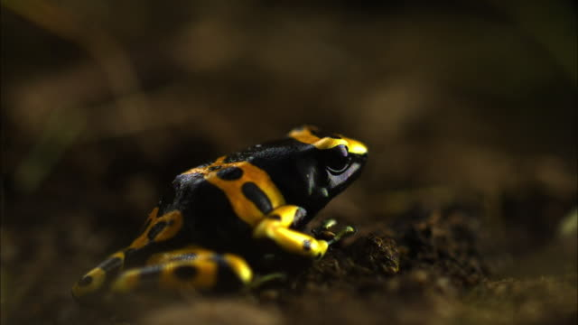 A black and yellow poison dart frog catches a fly with its tongue.