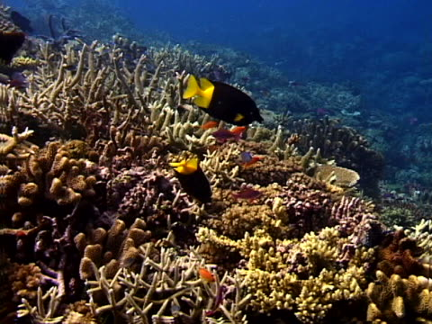 black and yellow tropical fish - tierisches exoskelett stock-videos und b-roll-filmmaterial