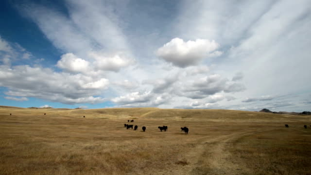 Black angus cows in large golden prairie grass field with puffy clouds and blue sky.