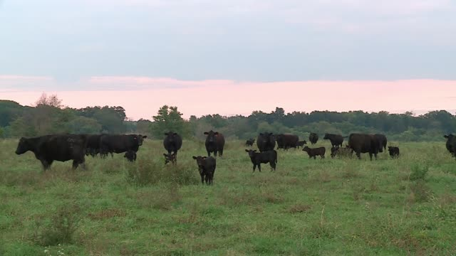 black angus cows on a ranch in illinois on oct. 3, 2016. - beef cattle stock videos & royalty-free footage