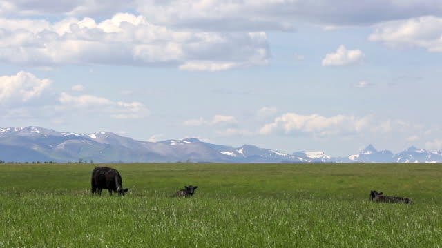 black angus cows walking across prairie field covered in yellow flowers with puffy white clouds in sky and majestic rocky mountains. - majestic stock videos & royalty-free footage