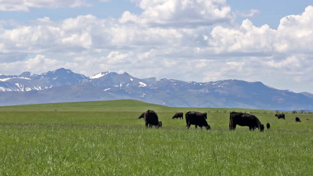 black angus cows walking across prairie field covered in yellow flowers with puffy white clouds in sky and majestic rocky mountains. - ranch stock videos & royalty-free footage