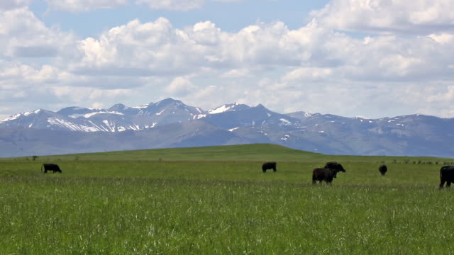 black angus cows walking across prairie field covered in yellow flowers with puffy white clouds in sky and majestic rocky mountains. - 牧畜場点の映像素材/bロール