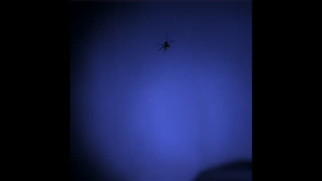 a black ant falls in slow motion in front of a blue screen. available in hd. - chroma key stock videos & royalty-free footage