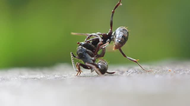 black ant fighting - ant stock videos & royalty-free footage