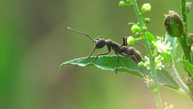 black ant on a flower - ant stock videos & royalty-free footage