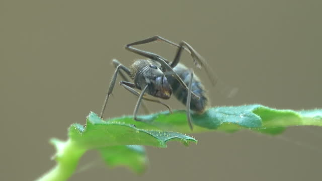 black ant on a leaf - one animal stock videos & royalty-free footage