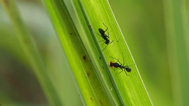 stockvideo's en b-roll-footage met zwarte mier die op groen bladgras loopt - voelspriet