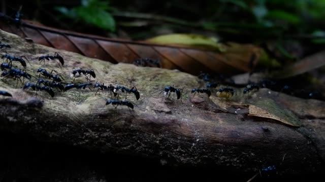 schwarze ameise zu fuß auf holz - ameisen stock-videos und b-roll-filmmaterial