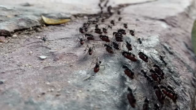 schwarze ameise mit eiern zu fuß - ameisen stock-videos und b-roll-filmmaterial