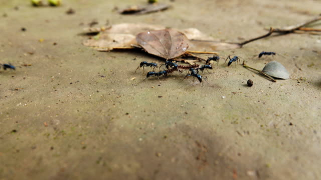 Black ants are dragging the caterpillar in an ant hill.