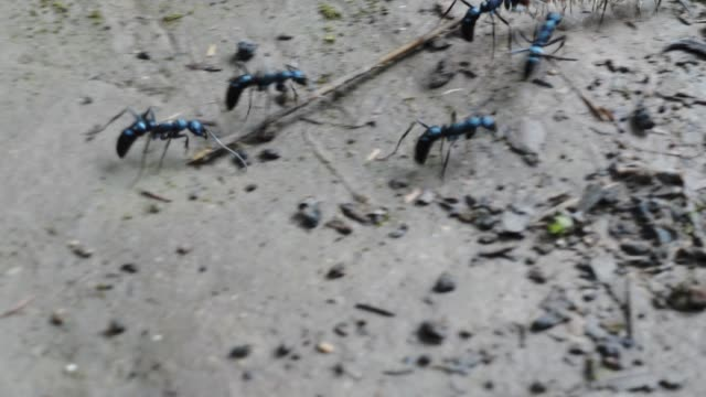 vídeos y material grabado en eventos de stock de black ants se prolonga el caterpillar de una hormiga de la colina. - colonia grupo de animales