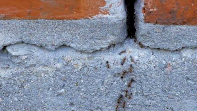 Black ants crawling through a crack on a house wall
