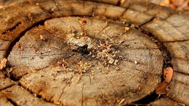 Schwarze Ameisen auf Baumstumpf